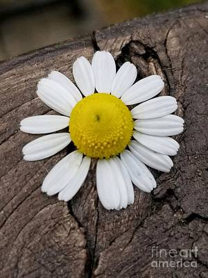 Photograph - One Chamomile Bloom by Rachel Hannah