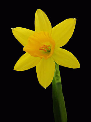 Photograph - One Daffodil On Black by MTBobbins Photography