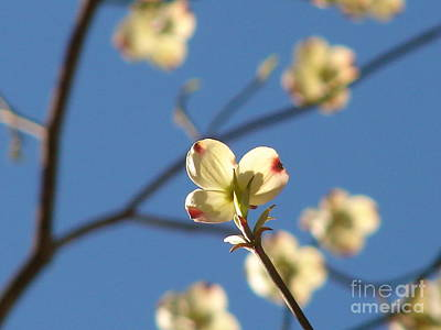 Photograph - One Dogwood Blooms by Laura Brightwood