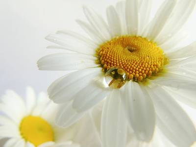 Photograph - One Droplet Two Daisies by Barbara St Jean