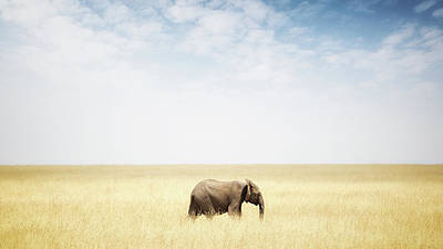 Photograph - One Elephant Walking In Grass In Africa by Susan Schmitz