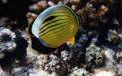 Photograph - One Exquisite Butterflyfish by Johanna Hurmerinta