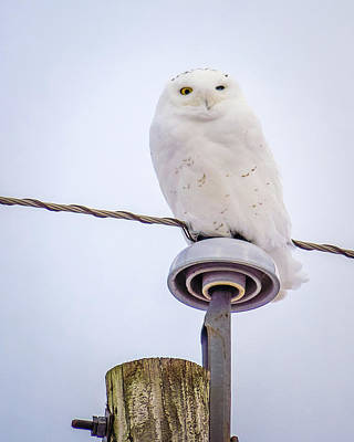 Photograph - One-eyed Snowy Owl by Bill Pevlor