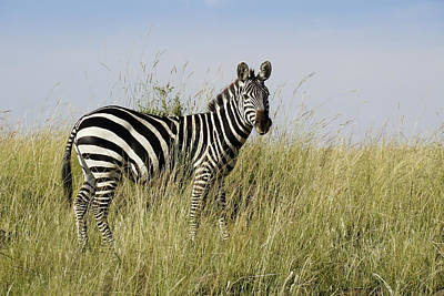 Photograph - One Handsome Zebra by Michele Burgess
