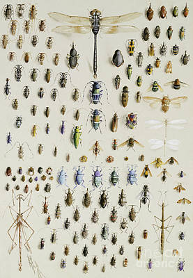 Beetle Drawing - One Hundred And Fifty Insects, Dominated At The Top By A Large Dragonfly by Marian Ellis Rowan