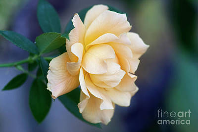 Photograph - One Last Rose by Joan Bertucci