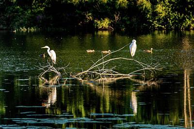 Photograph - One Legged Egrets by Onyonet  Photo Studios