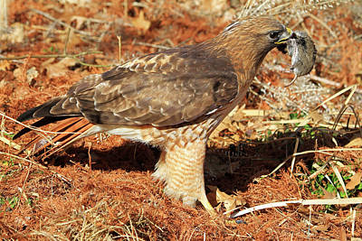 Redtail Hawk Photograph - One Less Vole by Donna Kennedy