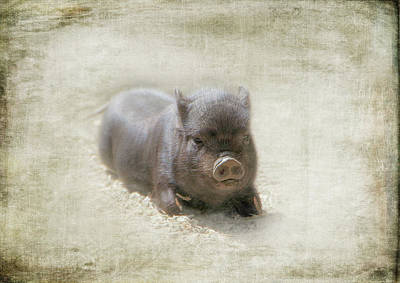 Photograph - One Little Piggy by Marilyn Wilson