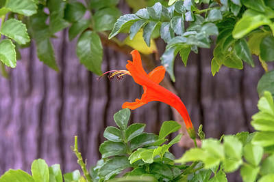 Photograph - One Lone Flower Remains On The Cape Honeysuckle by Debra Martz