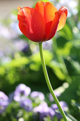 Photograph - One Lone Orange Tulip by Carol Montoya