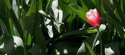 Photograph - One Lone Pink Tulip by Polly Castor