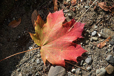 Photograph - One Maple Leaf by Tom Cochran