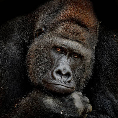 Gorillas Photograph - One Moment In Contact by Antje Wenner
