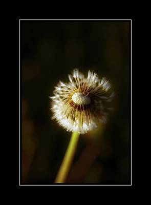Photograph - One Old Dandelion by Sherman Perry