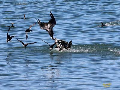 One Pelican Diving  Art Print