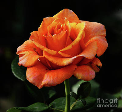Photograph - One Perfect Rose by Cindy Manero