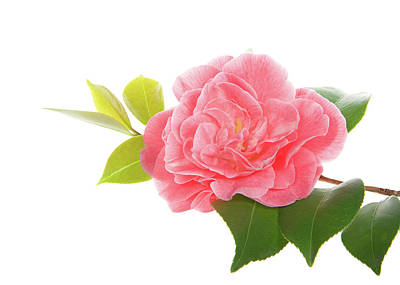 One Pink Camellia Art Print by Sheila Fitzgerald