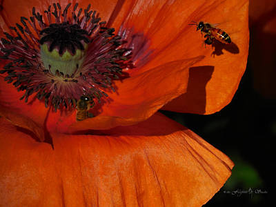 One Poppy And A  Bee Art Print