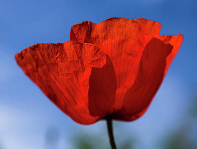 Photograph - One Red Poppy by Giovanni Bertagna