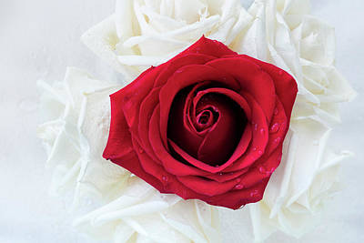 Photograph - One Red Rose by Jade Moon