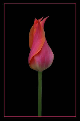 Photograph - One Red Tulip by Nikolyn McDonald