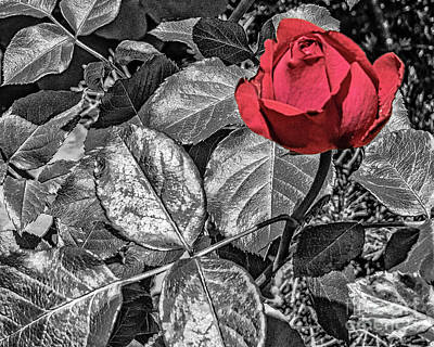 Photograph - One Rose by Dawn Gari