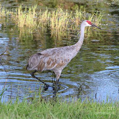 Photograph - One Sandhill Crane Wading Through Marsh by Carol Groenen