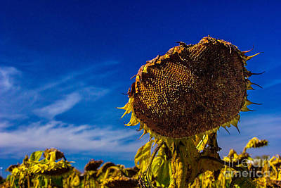 Photograph - One Strong Sunflower by Bill Woodstock