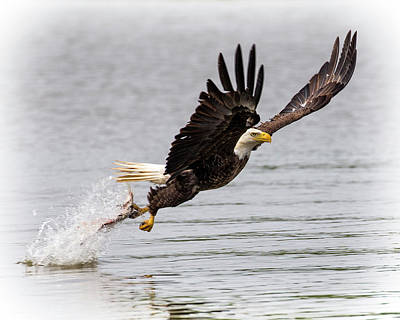 Photograph - One Talon Grab by Alan Raasch