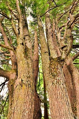 Photograph - One Tree Six Trunks by Lisa Wooten
