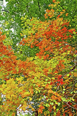 Photograph - One Tree With Variety Of Leaf Colors Along Trail To North Beach Park In Ottawa County, Michiga by Ruth Hager