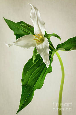 One Trillium Art Print by Masako Metz