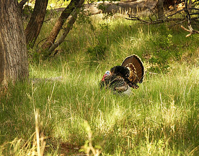Photograph - One Turkey by Charles McKelroy