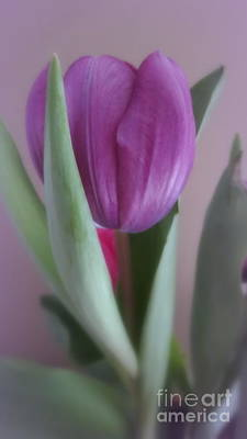Photograph - One Violet Tulip by Kay Novy