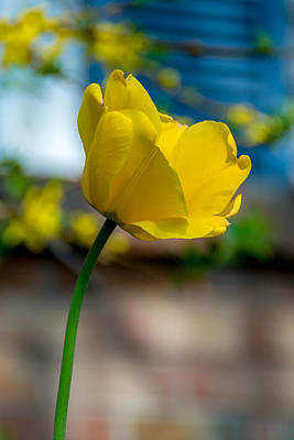 Photograph - One Yellow Tulip by Guy Whiteley