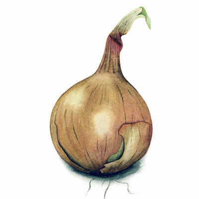 Painting - Onion Watercolor by Taylan Apukovska