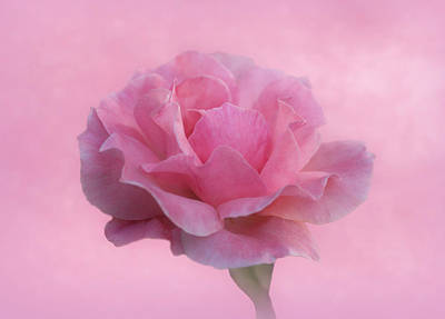 Photograph - Only Pink Rose by Sandy Keeton