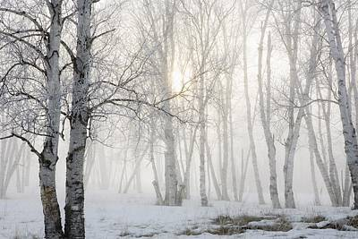 Photograph - Ontario, Canada Birch Trees In The Fog by Susan Dykstra
