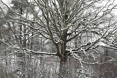 Photograph - Ontario Winter Oak by Jim Vance