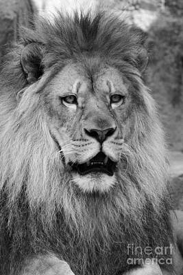 Feline Photograph - Onyo #14 Black And White  by Judy Whitton