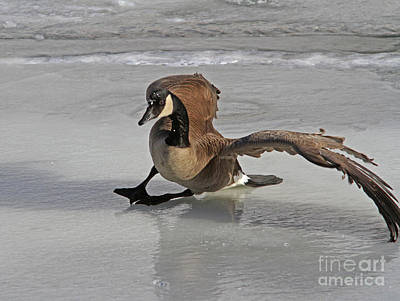 River Photograph - oops..Canada Goose by Gary Wing