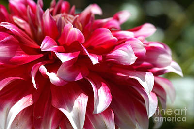 Photograph - oozing With Life Dahlia by Joy Watson