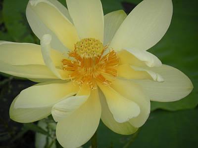Photograph - Open American Lotus - Yellow Blosom by rd Erickson