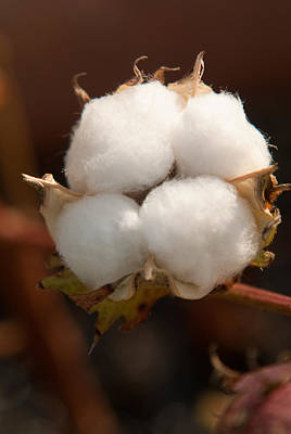 Boll Photograph - Open Cotton Boll by Douglas Barnett