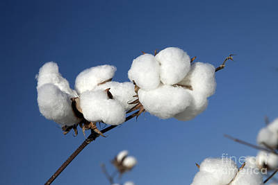 Bio Cotton Photograph - Open Cotton Bolls by Inga Spence