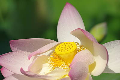 Photograph - Open Lotus by Buddy Scott