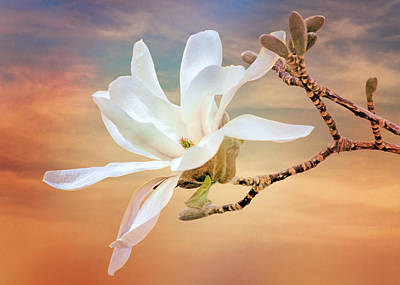 Open Magnolia On Texture Art Print