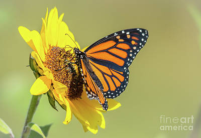 Photograph - Open Monarch On Sunflower by Cheryl Baxter