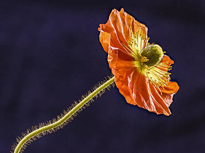 Photograph - Open Orange Poppy by Jean Noren